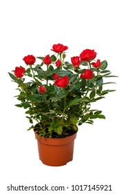 Red decorative roses in flowerpot isolated on white background.