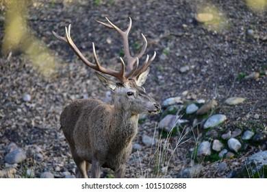 Red Deer, Andujar Natural Park, Spain