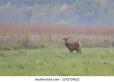 Red deer with antlers in autumn landscape in Serbia