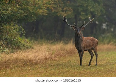 Red Deer in autumn during bellowing