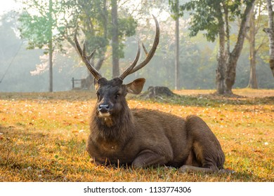 Red deer in beautiful warm light sunrise. Deer in thailand nature park. Sambar Deer