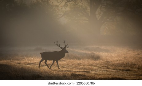 Red Deer at Bradgate Park Leicestershire uk Taken in misty Sunrise with shafts of sunlight