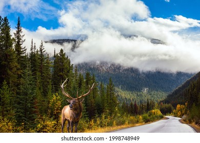 Red deer with branched antlers grazes by the road. The Rocky Mountains of Canada. Jasper Park. Magnificent highway among coniferous forests. Travel and photo tourism concept