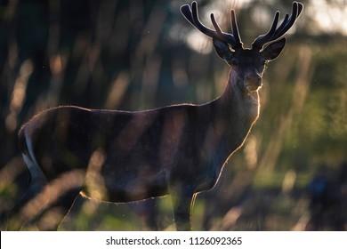 Red deer buck with velvet antler in backlight of sun.