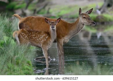 Red deer with calf on the water, summer, (cervus elaphus), germany
