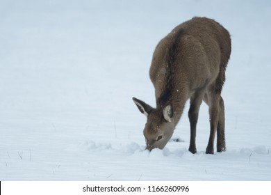 Red deer calf search feed in the snow, winter, germany, (cervus elaphus)