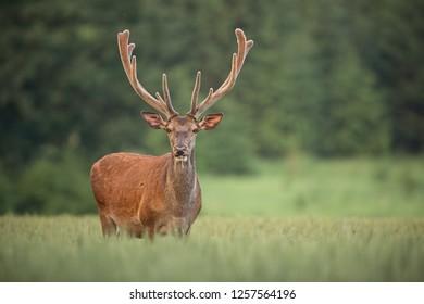 Red deer, cervus elaphus, with antlers growing in velvet. Wildlife in summer.