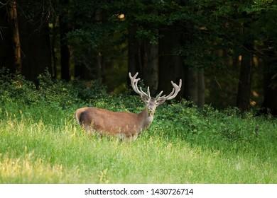 red deer, cervus elaphus, Bohemia forest