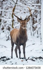 Red Deer Cervus elaphus buck in the winter forest