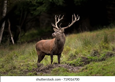 red deer, cervus elaphus, Czech republic