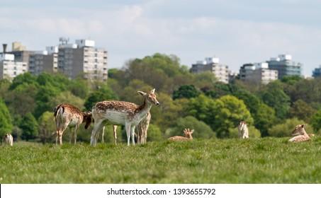 Red deer (Cervus elaphus) and fallow deer (Dama dama) with London skyline in background, United Kingdom
