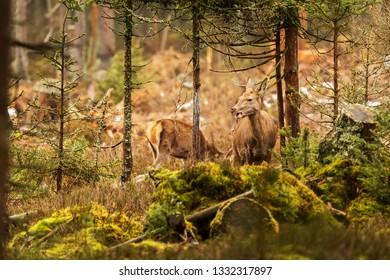 red deer (Cervus elaphus) female