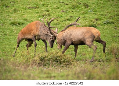 Red deer, cervus elaphus, fight during the rut. Wild stags in a struggle. Rivalry between wild bucks in matting season. Wildlife action scenery.