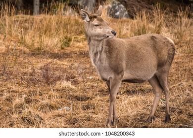 a red deer (Cervus elaphus) in Glencoe Scotland