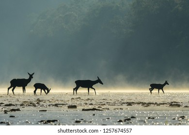 Red deer (Cervus elaphus). Red hind and calf in the water. Bieszczady Mountains. Poland