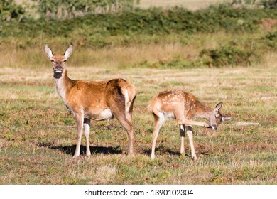 A red deer (Cervus elaphus) hind and her fawn stand in bright sunlight in Bradgate Park, Leicestershire. The hind looks at the camera, whilst the spotted fawn scratches its chin with its hoof.