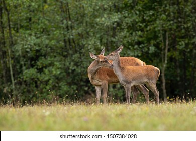 Red deer, Cervus elaphus, hind mother sniffing its fawn on a meadow in summer. Concept of love in animal family. Wild mammals in nature standing close to each other.