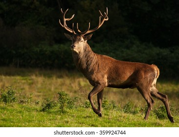 Red Deer (Cervus elaphus) at Killarney National Park,Kerry,Ireland