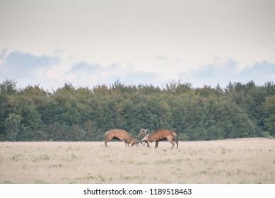 Red deer, Cervus elaphus, males fighting in rutting season in Denmark
