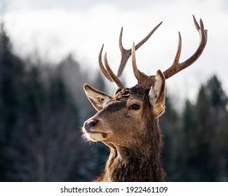 Red deer (Cervus elaphus) in nature