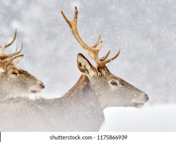 The red deer (Cervus elaphus) outdoor in winter