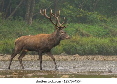 Red deer (Cervus elaphus) in the river during the rut. Bieszczady Mountains, Poland.