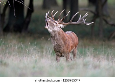 red deer, (Cervus elaphus), rutting season, captive