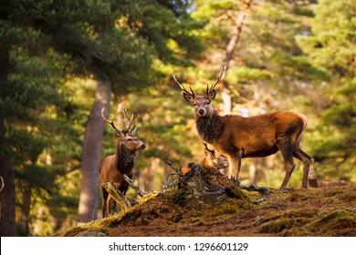 Red deer, Cervus elaphus  in Scotland