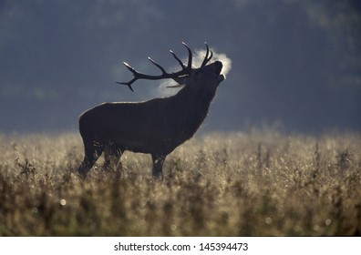 Red deer, Cervus elaphus, single male roaring in rut, Bradgate Park, Leicestershire