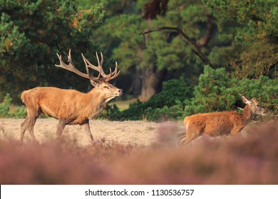 Red deer Cervus elaphus stag with big antlers running and chasing female does during rutting season in heathland