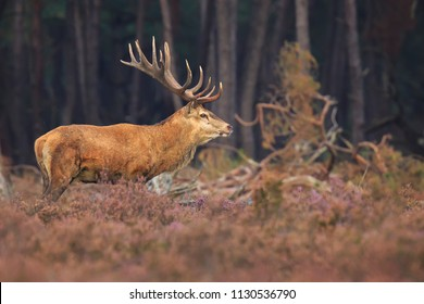 Red deer Cervus elaphus stag with big antlers during rutting season in heathland with a dark forest on the background.