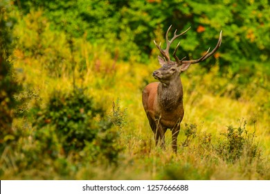 Red deer (Cervus elaphus). Stag in a meadow near the forest during the rut