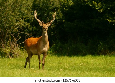Red deer (Cervus elaphus). Red stag in a meadow.