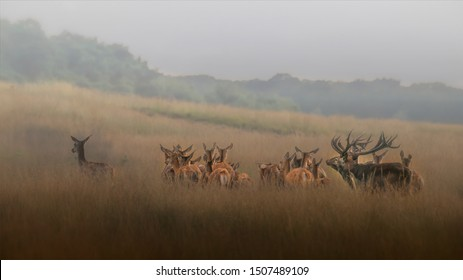 Red deer (Cervus elaphus) stag with a group female red deer in rutting season on the field of National Park Hoge Veluwe in the Netherlands. Forest in the background. Beautiful Christmas Card.