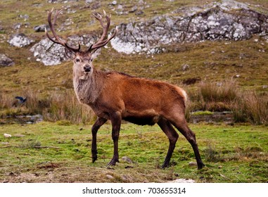 A Red Deer (Cervus elaphus) stag on a Scottish moor. This animal was photographed in captivity.