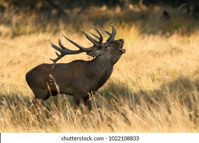 The Red Deer, Cervus elaphus stands in dry grass and honking, in typical autumn environment, majestic animal proudly wearing his antlers, sparkle in the eye, ready to fight for an ovulating hind.