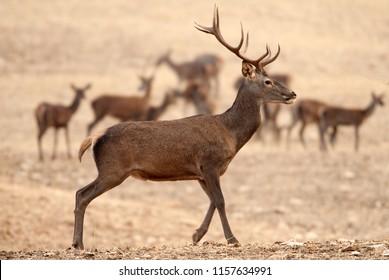 Red deer, Cervus elaphus, Wild