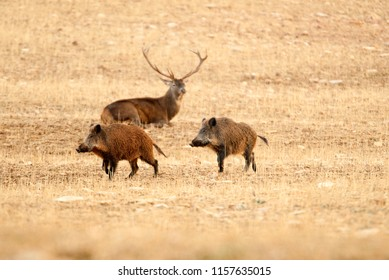Red deer, Cervus elaphus, and wild boar, sus scrofa
