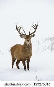Red deer (Cervus elaphus) in winter snow.