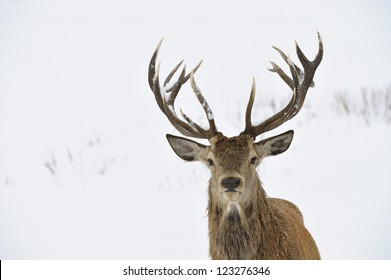 Red deer (Cervus elaphus) in winter snow. Head and antler portrait.