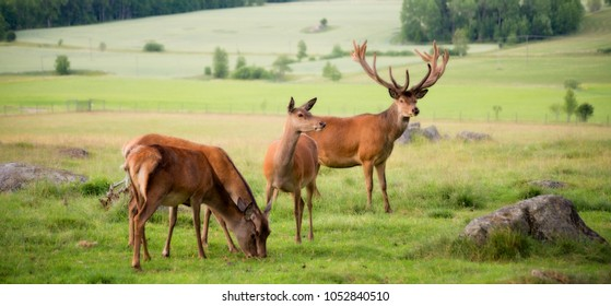 Red deer in a country landscape