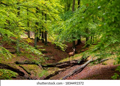 Red Deer Cow (Cervus elaphus) in a clearing of a natural Reserve near Arnsberg Sauerland Germany on a autumn day in an old Beech and Oak Forest at rutting season