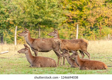 The red deer cows are waiting for their deer