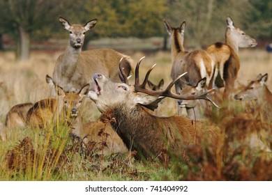 Red Deer, Deers