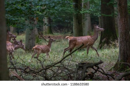 Red Deer during fall in woods