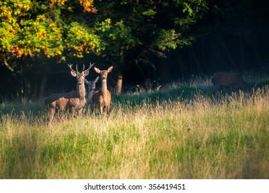 Red deer in evening light.