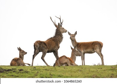 Red deer family on Exmoor