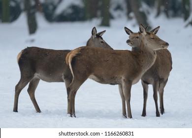 Red deer female group standing in the winter forest, germany, (cervus elaphus)