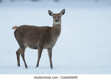 Red deer female standing on the meadow, winter, germany, (cervus elaphus)