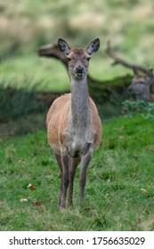 Rotwild - Weibliche Rote Hirsche im Wald